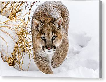 Sneaky Cougar Canvas Print by Mike Centioli