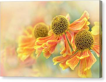 Sneezeweed Canvas Print by Jacky Parker