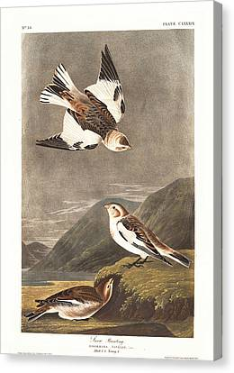 Snow Bunting Canvas Print by Rob Dreyer