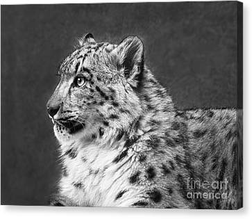 Snow Leopard Cub Portrait Canvas Print