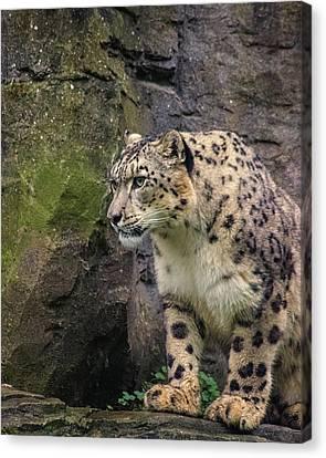 Snow Leopard Canvas Print by Martin Newman