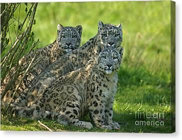 Snow Leopard Or Ounce Uncia Uncia Canvas Print