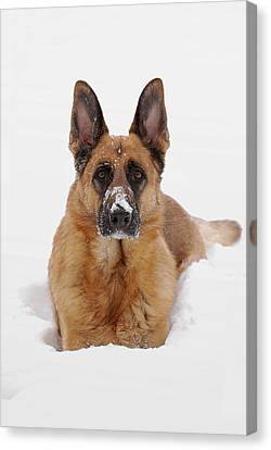 Snow Portrait Of A German Shepherd Dog Canvas Print by Angie Tirado