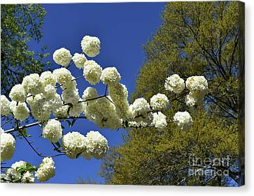 Canvas Print featuring the photograph Snowballs by Skip Willits
