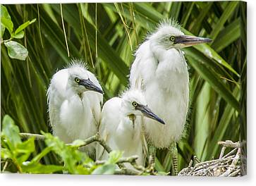 Canvas Print featuring the photograph Snowy Egret Chicks by Paula Porterfield-Izzo