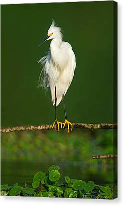 Snowy Egret Egretta Thula, Tortuguero Canvas Print by Panoramic Images