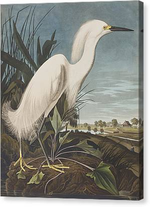 Snowy Heron  Canvas Print by John James Audubon