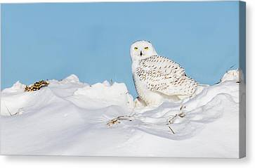 Canvas Print featuring the photograph Snowy Owl by Dan Traun