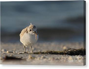 Snowy Plover Canvas Print by Meg Rousher