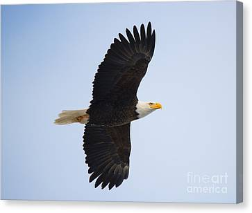 Soar Canvas Print by Mike Dawson