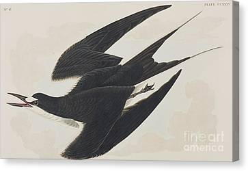 Swoop Canvas Print - Sooty Tern by John James Audubon