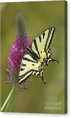 Southern Swallowtail Butterfly Canvas Print
