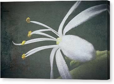Spider Plant Flower II Canvas Print