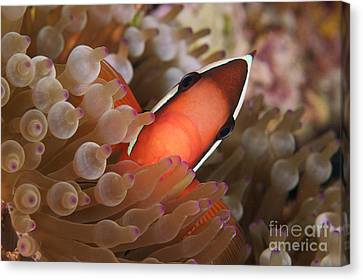 Spine-cheek Anemonefish Canvas Print by Steve Rosenberg - Printscapes