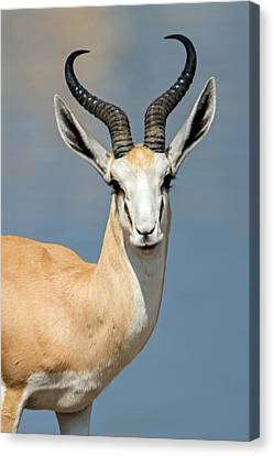 Springbok Antidorcas Marsupialis Canvas Print by Panoramic Images