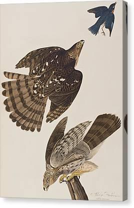 Stanley Hawk Canvas Print by John James Audubon