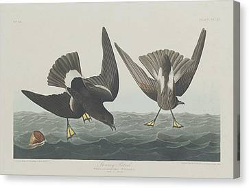 Stormy Canvas Print - Stormy Petrel by Dreyer Wildlife Print Collections