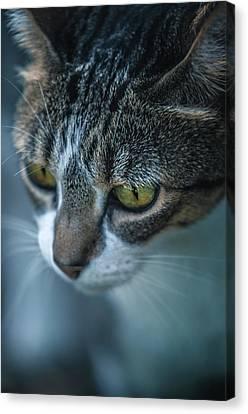 Stray Cat Canvas Print by Carlos Caetano