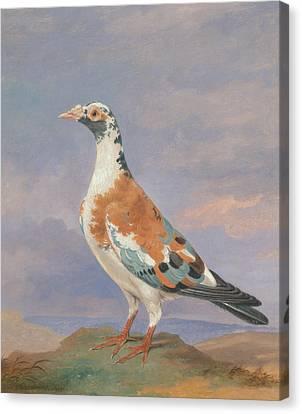 Studies Of Carrier Pigeon Canvas Print by Dean Wolstenholme