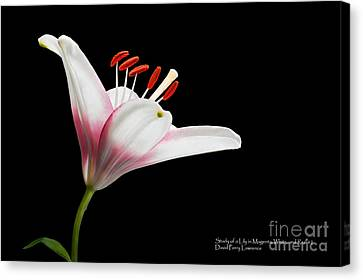 Canvas Print featuring the photograph Study Of A Lily In Magenta, White, And Red #2 By Flower Photographer David Perry Lawrence by David Perry Lawrence