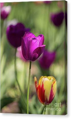 Study Of Tulips Canvas Print by Doc Braham