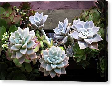 Canvas Print featuring the photograph Succulents by Catherine Lau