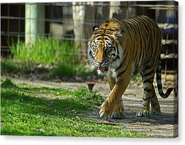 Canvas Print featuring the photograph Sumatran Tiger by JT Lewis