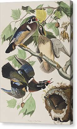 Summer Or Wood Duck Canvas Print by John James Audubon