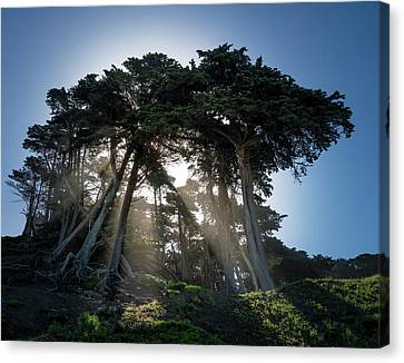 Sunbeams From Large Pine Or Fir Trees On Coast Of San Francisco  Canvas Print by Steven Heap