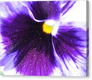 Sunburst Pansy Canvas Print by Tracy Male
