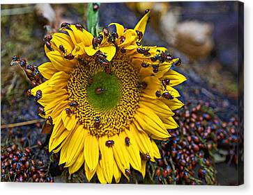Ladybird Canvas Print - Sunflower Covered In Ladybugs by Garry Gay