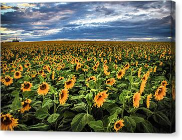 Sunflower Farm Canvas Print by Juli Ellen
