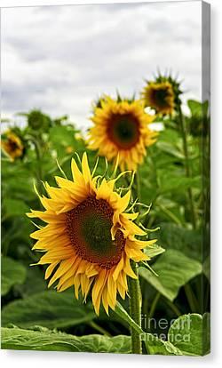 Sunflower Field Canvas Print by Elena Elisseeva