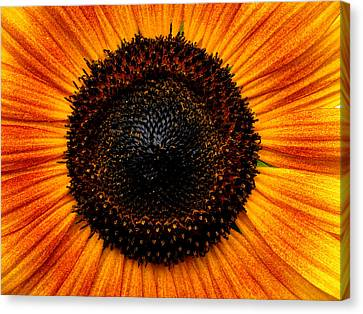 Sunflower Canvas Print by Martin Morehead