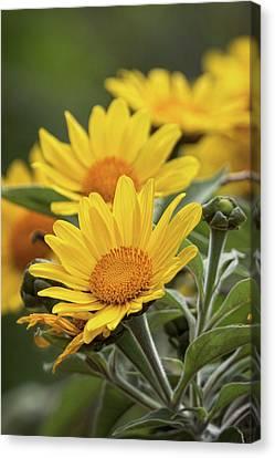 Canvas Print featuring the photograph Sunflowers  by Saija Lehtonen