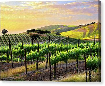 Sunset Vineyard Canvas Print by Sharon Foster