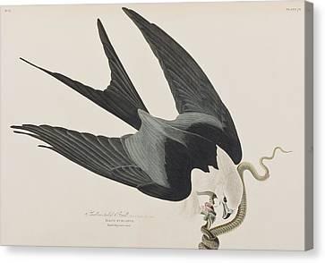 Swallow-tailed Hawk Canvas Print by John James Audubon