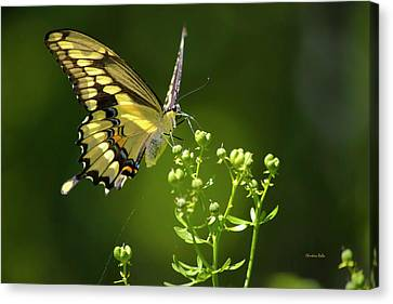 Canvas Print featuring the photograph Elegant Swallowtail Butterfly by Christina Rollo