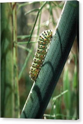 Canvas Print featuring the photograph Swallowtail Caterpillar by Meir Ezrachi