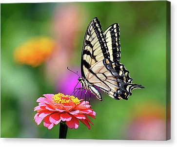 Canvas Print featuring the photograph Swallowtail On A Zinnia by Rodney Campbell