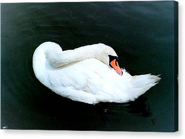 Swan At Rest  Canvas Print by Richard Mansfield