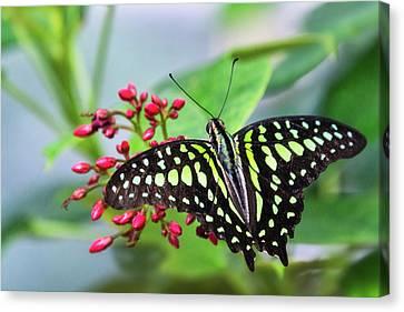 Canvas Print featuring the photograph Tailed Green Jay Butterfly  by Saija Lehtonen