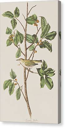 Tennessee Warbler Canvas Print by John James Audubon