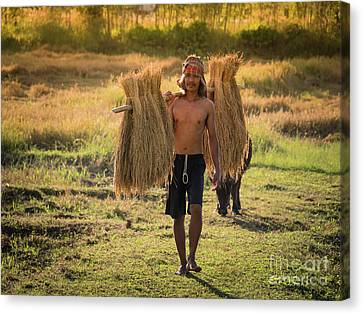 Canvas Print featuring the photograph Thai Farmer Carrying The Rice On Shoulder After Harvest. by Tosporn Preede