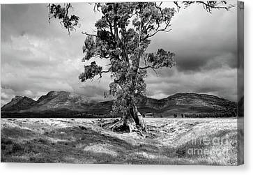 Canvas Print featuring the photograph The Cazneaux Tree by Bill Robinson