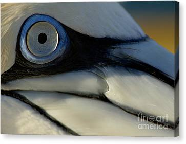 The Eye Of A Northern Gannet Canvas Print by Sami Sarkis