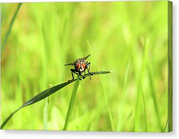 The Fly Canvas Print by David Stasiak