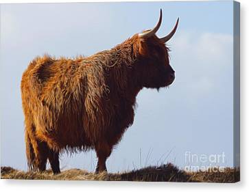 The Highland Cow Canvas Print by Nichola Denny