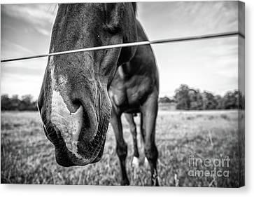 the Horses of Blue Ridge 4 Canvas Print