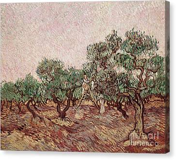The Olive Pickers Canvas Print by Vincent van Gogh